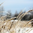 Frozen Wild Grass — Stock Photo