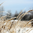 Frozen Wild Grass - Stock Photo