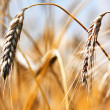 Golden harvest - Foto Stock