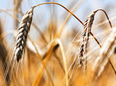 Golden harvest — Stockfoto