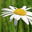 Giant Daisy — Stock Photo #4428282