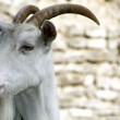 White Goat — Stock Photo #4595376