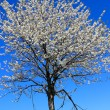 Tree blooming  in spring landscape — Stock Photo