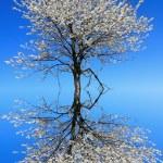 Spring blossom tree — Stock Photo