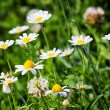 Summer meadow with daisies - Stock Photo