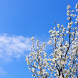 Spring tree on blue sky — Stock Photo