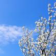 Spring tree on blue sky — Stock Photo