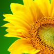 Sunflower on green background — Stock Photo #4747855