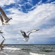 Flying Seagulls — Foto Stock