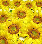 Sunflower background — Foto de Stock