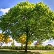 Stock Photo: Green tree