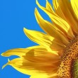 Yellow sunflower blossoming flower head — Foto Stock