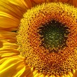 Yellow Sunflower Banner — Stock Photo #4991841
