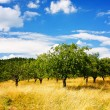 Summer orchard — Stock Photo