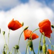Stock Photo: Poppies on green field