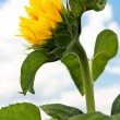 Young Sunflower — Stock Photo