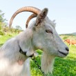 Goat on pasture - Stock Photo