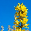 Forsythia tree branch with yellow flowers over blue sky — Stock Photo #5228472