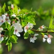 Stock Photo: Spring apple blossoms