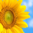 Fantastic yellow sunflower — Stok Fotoğraf #5255633