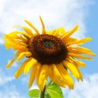Sunflower on blue sky background - Stockfoto