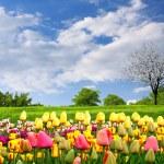Springtime tulips — Stock Photo