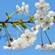 Blossoming branch — Stock Photo