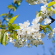 Blossoming branch background — Stock Photo