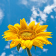 Stock Photo: Sunflower on cloudy sky