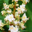 Blooming chestnut — Stock Photo #5300016