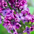 Lilac background — Stock Photo #5300817