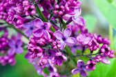 Lilac background — Stock Photo