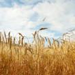 Stock Photo: Golden wheat background