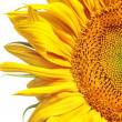 Sunflower banner — Stock Photo