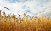Golden wheat background — Stock Photo