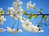 Blossoming branch on blue sky — Stock Photo