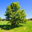 Stock Photo: Oak tree on green field