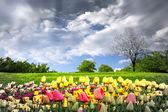 Springtime tulips and stormy sky — Stock Photo