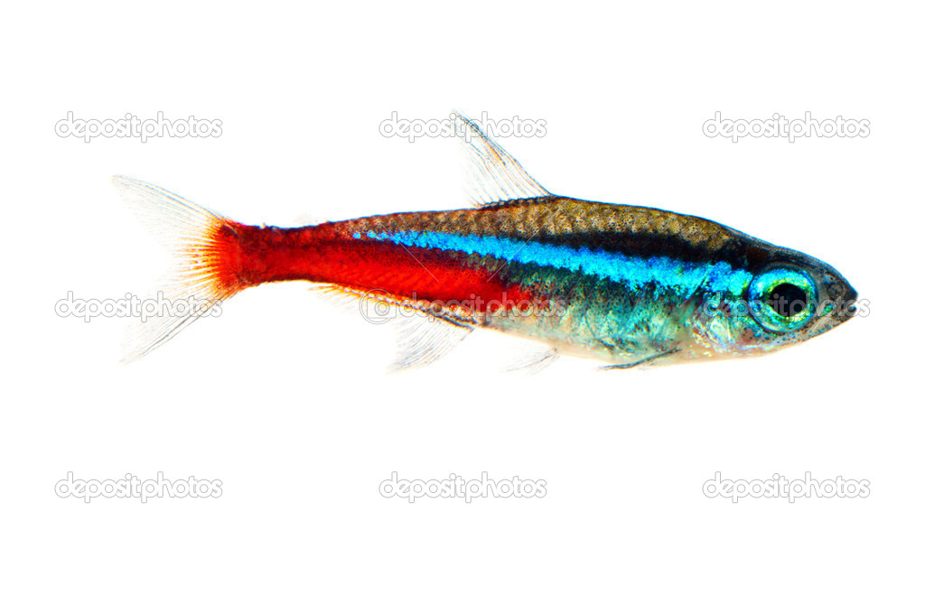 Neon aquarium fish paracheirodon innesi stock photo for Neon aquarium