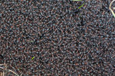 Ants - anthill — Stock Photo