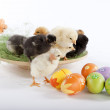 Many baby chicken near Easter eggs — Stock Photo
