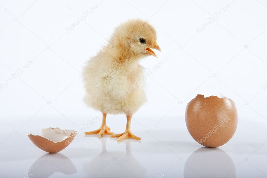 Squishy Fun Baby Chicken : Funny baby chick talking to an empty egg ? Stock Photo ? IgooAna #5351537