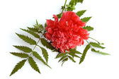 Red Poppy Decorative — Foto de Stock