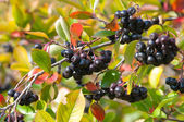 Black Chokeberry (Aronia) — Stock Photo