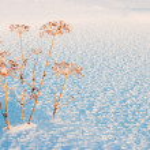 Fennel in snow — Stock Photo