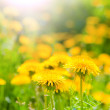 Dandelions in beams of the morning sun — Stock Photo