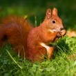 Red squirrel on the grass — Stock Photo