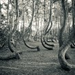 Mysterious curved forest near Gryfino Poland - Stock Photo