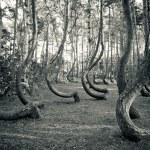 Mysterious curved forest near Gryfino Poland — Stock Photo