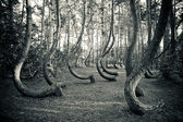 Mysterious curved forest near Gryfino Poland — Stock Photo